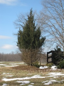 "An evergreen tree on Thomas Farm with bare branches on the lower several feet of it, showing the ""browse line"" of local deer"